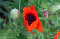 oriental poppy bloom and bud