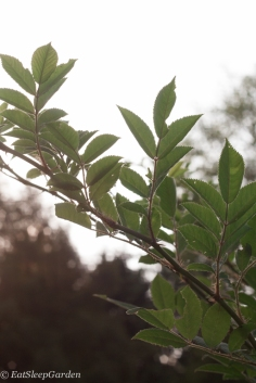 climbing rose leaf