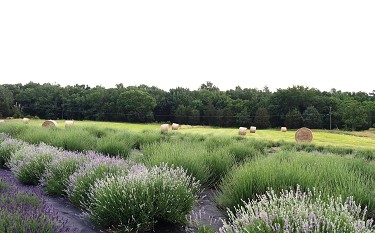 411815lavender and hay 1