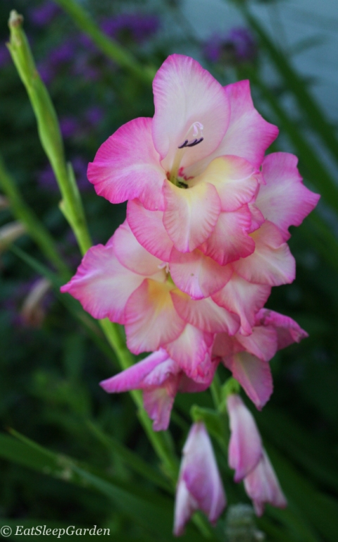 pink and white gladiolus