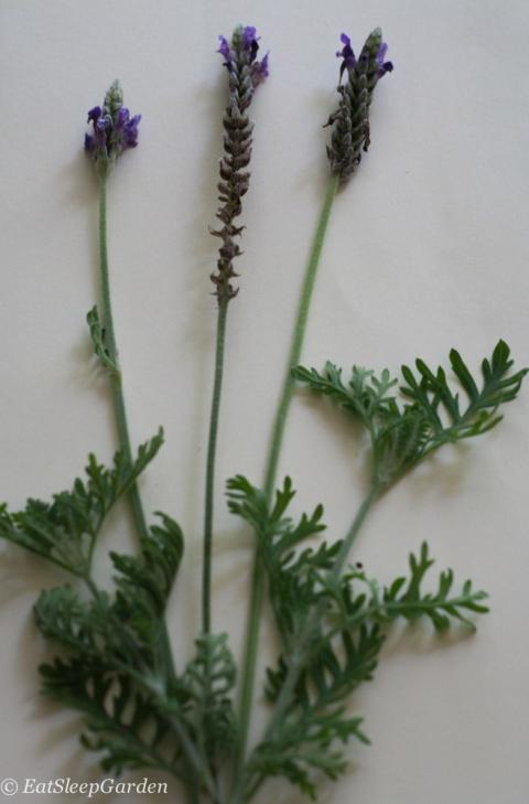 multifida lavender